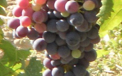 """""""Uva comanda colore…"""" : agostamento e invaiatura"""